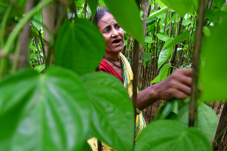 A woman seen working in a Paan (betel leaf) field locally known as Paan in  Agartala. Varieties of paan are produced here like Bangla Paan, Lanka Paan and Golta Paan. It's a type of Indian digestive which consists of fillings wrapped in a triangular package using leaves of the Betel pepper. It is also commonly offered to guests and visitors as a sign of hospitality and eaten at cultural events.